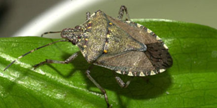 Brown Marmorated Stink Bug (00000002)