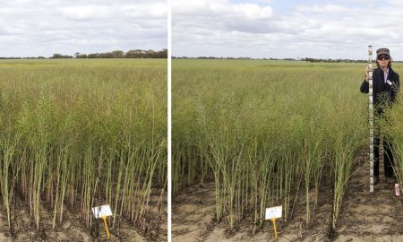 Canola-Top-up-Research