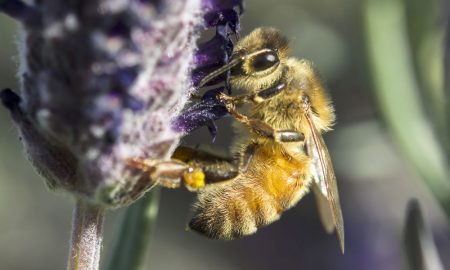 bee-on-lavendar