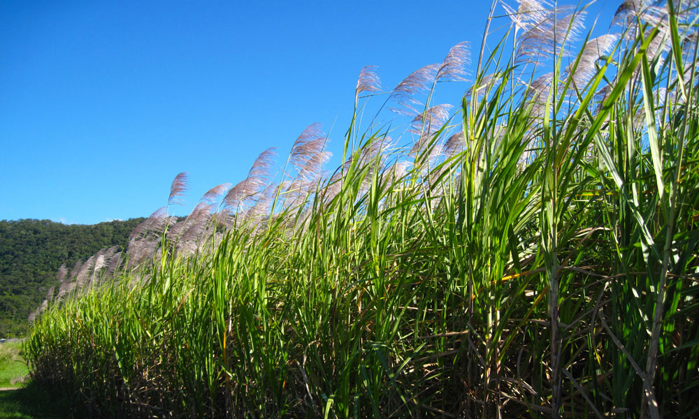 sugarcane in seed stock image