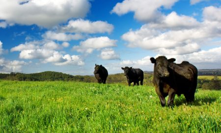 cattle-beef2