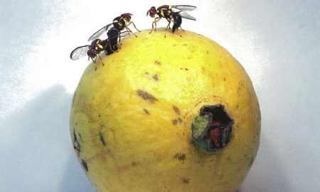 Fruit-fly-on-guava