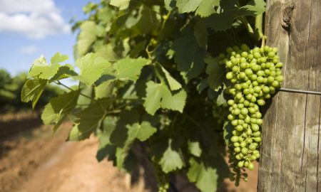 wine-grapes-Hunter-Valley-N