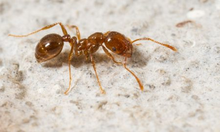 red-fire-ant-trampantthreat