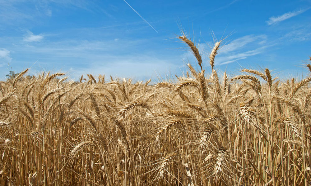 wheat crop stock image