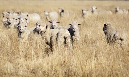 sheep-group