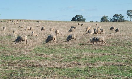 sheep-on-stubble