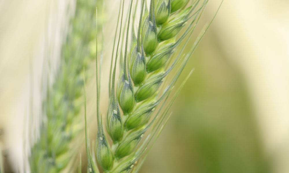 wheat-ear