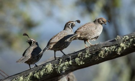 california-quail-shutters