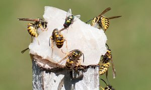 Residents are asked to keep an eye out from European wasps which are bright yellow in colour, with black stripes and yellow legs and black antennae.