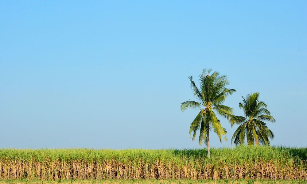 queensland sugar cane stock image