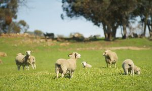 faming-sheep-grazing