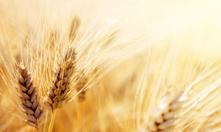 gold-wheat