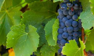 grapes-winery-yarra-valley