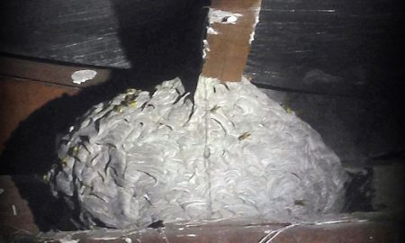 european-wasp-nest-found-in