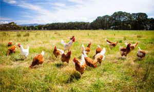 chickens-farm-victoria