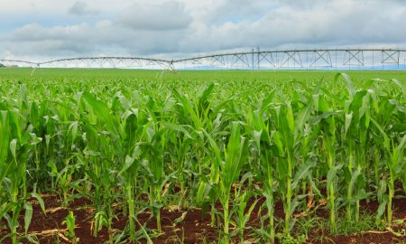 irrigated-corn-queensland