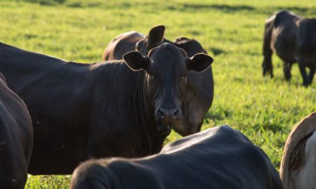 cattle-2