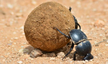 dung-beetle-stock