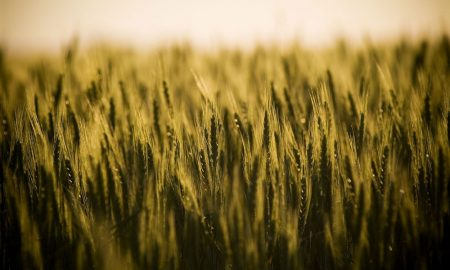golden grain stock image