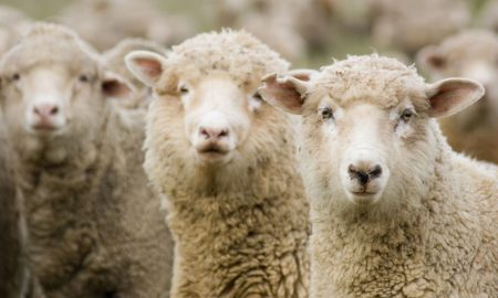 merino-sheep