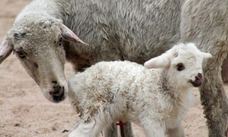 sheep-cares-for-newborn-lamb