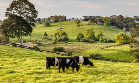 cattle QLD stock image
