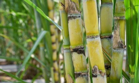 sugarcane cut stock image