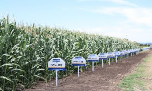 Pacific Seeds corn demo plots. Image courtesy of Pacific Seeds