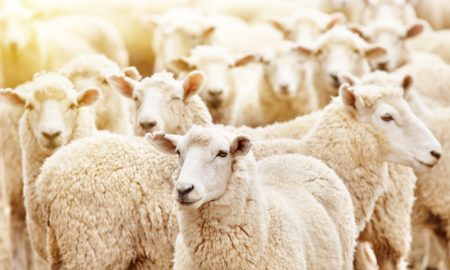 sheep livestock stock image