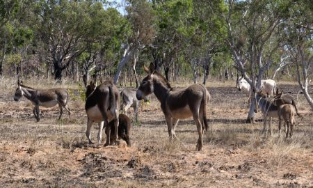 Feral donkeys in the Kimberley, Western Australia. They are destructive to the environment.
