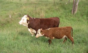 Pestivirus hereford picture
