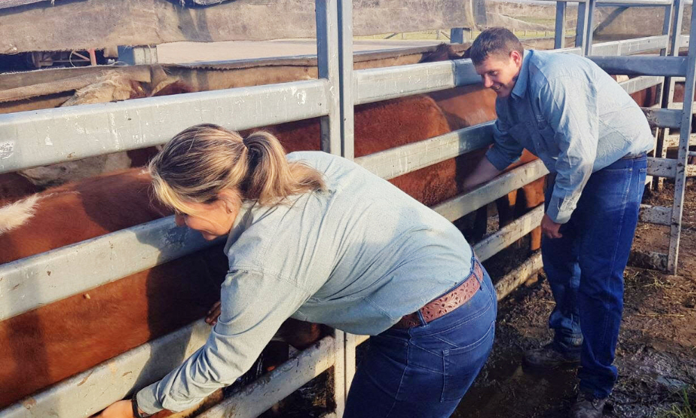 NSW Department of Primary Industries Cattle Tick Program regulatory officers, Kristy Saul and Chris Knight, conduct a cattle tick inspection at the Kempsey Regional Saleyards, as the program continues to help safeguard local livestock.