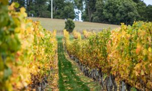 vineyard tasmania stock image