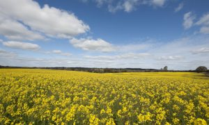 A series of two-part workshops will offer NSW growers and advisers tips and tactics for identifying, monitoring and managing early season pests in canola. Photo GRDC.