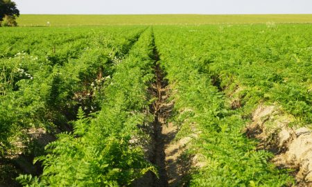 carrot farm stock image