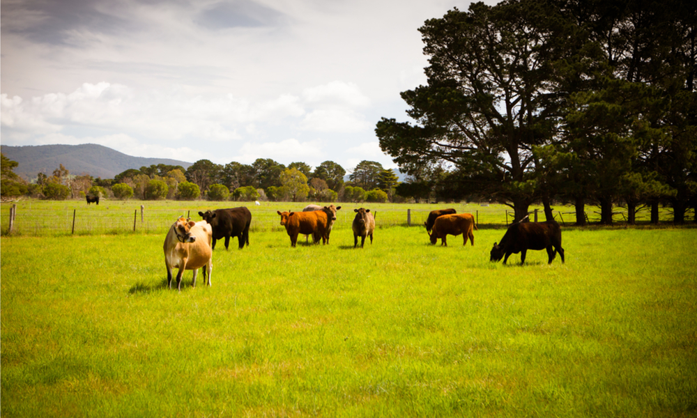 cattle-Victoria-stock-image