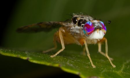 fruit fly mediterranean stock image