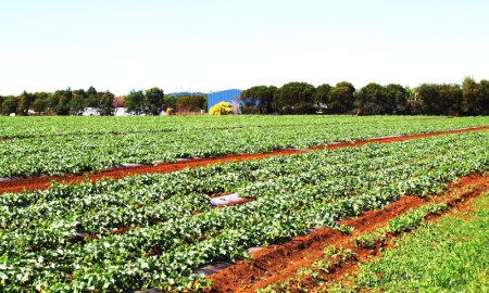 strawberry farm bundaberg queensland stock image