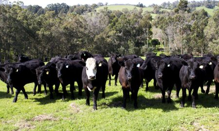 wa cattle stock image
