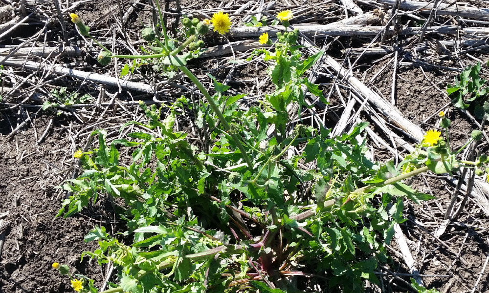 Common sowthistle is one of the most widespread broadleaf weeds in the northern cropping region. Once predominantly a winter problem it is now a management challenge in almost all seasons. Photo courtesy NGA.