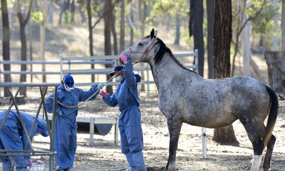 hendra_virus_outbreak_2011_australia_fatal_to_horses_humans