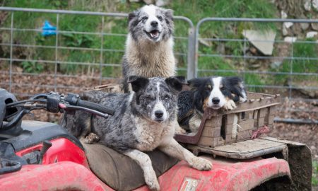 dogs quadbike stock image