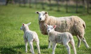 lambs sheep stock image