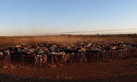 nt cattle stock image