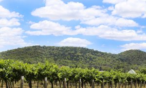 victorian vineyard stock image