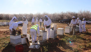 Apiary officers, including the bee biosecurity officers, inspect hives during almond pollination to determine pest and disease status. Image: courtesy of Michael Holmes