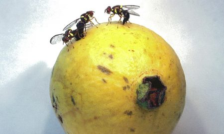 Fruit fly on guava