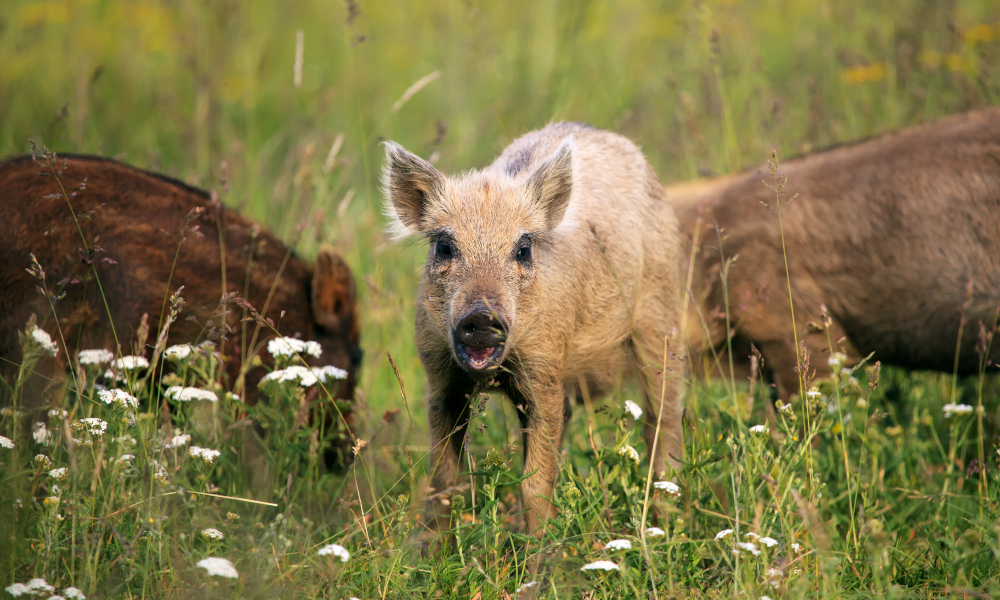 feral boars stock image