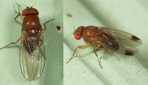 Adult male flies (right) show distinct spots on the ends of their wings, which give the species their name. Adult females (left) do not have spots on their wings. Photo courtesy of John Davis